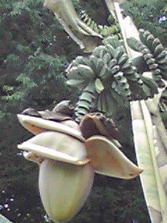 公園のバナナ